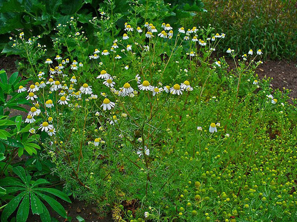 naturally relieve anxiety, nervousness, and fatigue with german chamomile