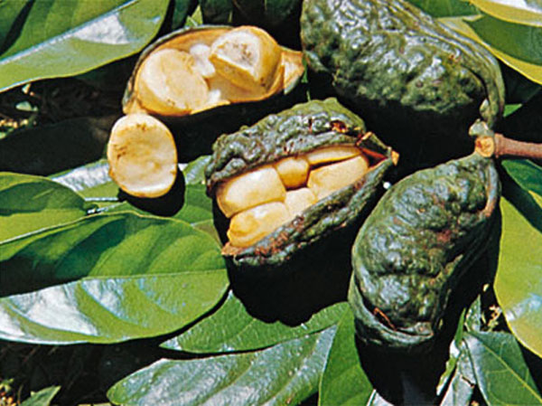 fight signs of fatigue & weakness naturally with herbal remedy kola nut
