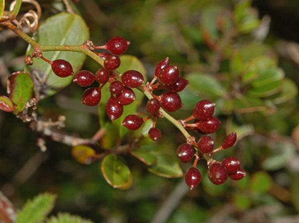 herbal sarsaparilla contains natural cholesterol lowering properties