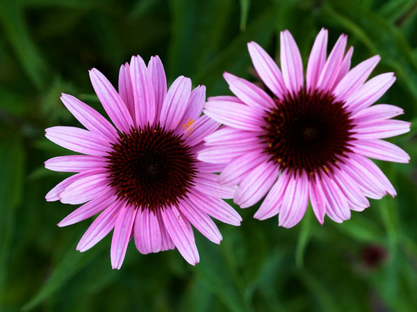 help fight upper respiratory tract infections naturally with echinacea