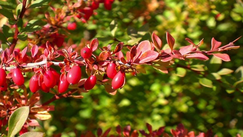 Berberis Vulgaris plant