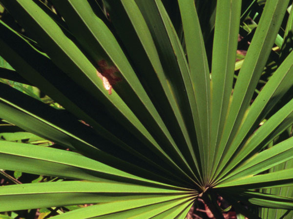 naturally help promote prostate & urinary tract health with saw palmetto