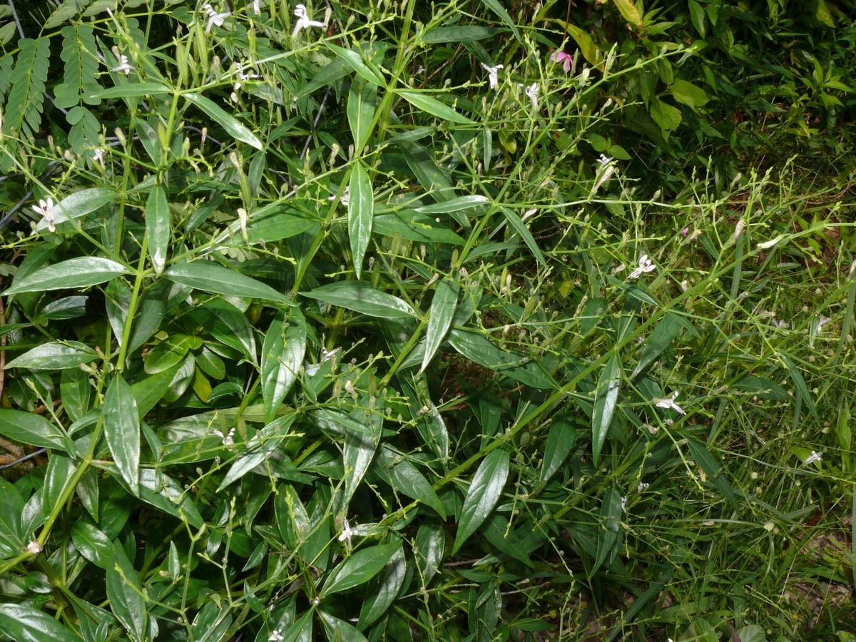 Andrographis_Herb_Native_Remedies.jpg