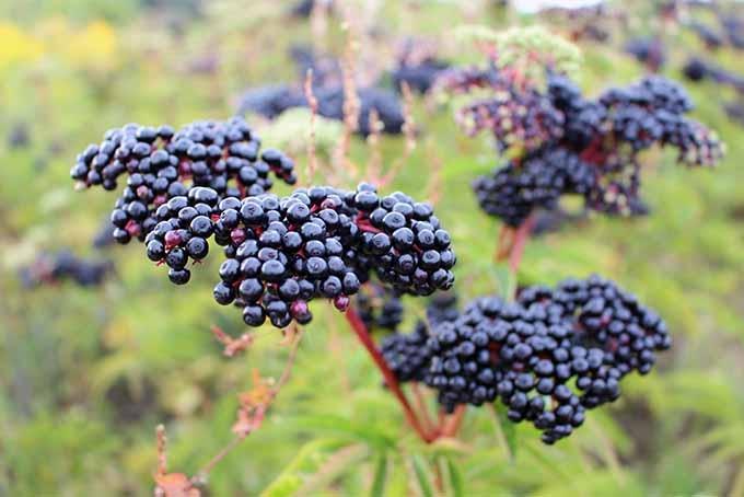 Elderberry Fruit Native Remedies
