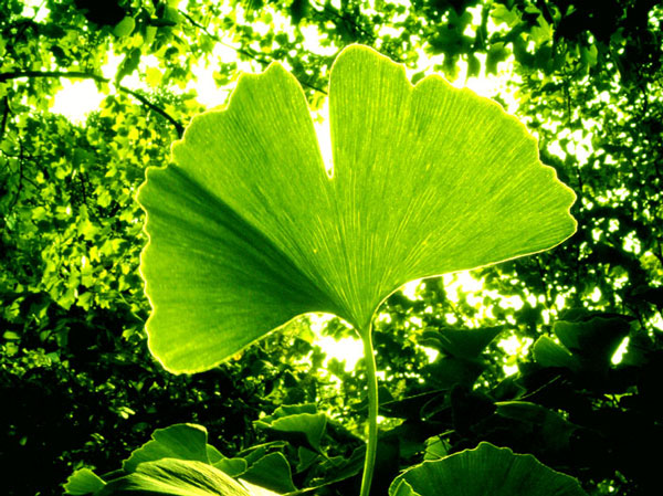 improve blood flow to brain arteries naturally with maidenhair tree